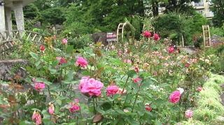 強羅公園の薔薇