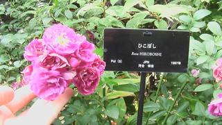 薔薇(ひこぼし)
